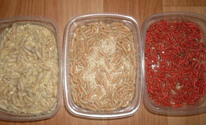 В коробках черви